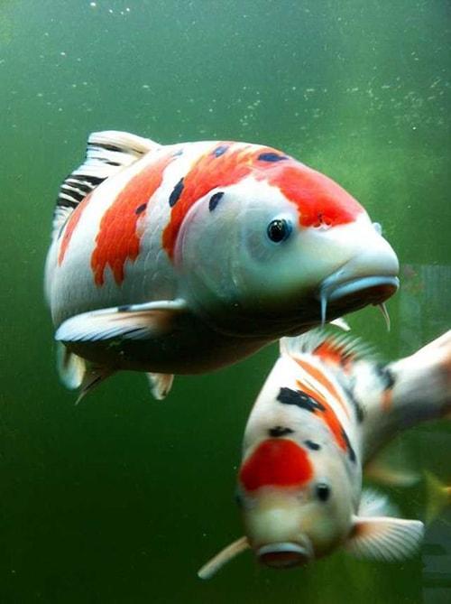 Chọn cá có dáng bơi thẳng, uyển chuyển